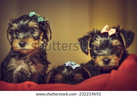 Two curious cute Yorkshire terrier dog puppies with head fur tied with colorful bows, looking at camera while laying on red blanket. Shallow depth of field. - stock photo