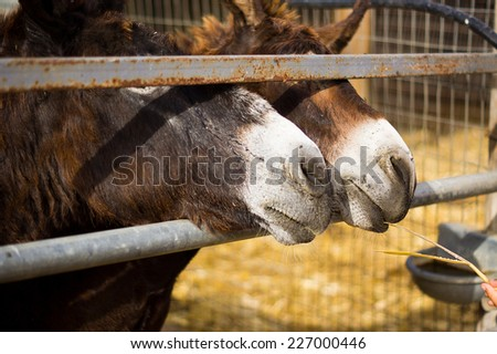 Two curious donkey in a paddock in Skorino farm, Cyprus. Close-up portrait photo - stock photo