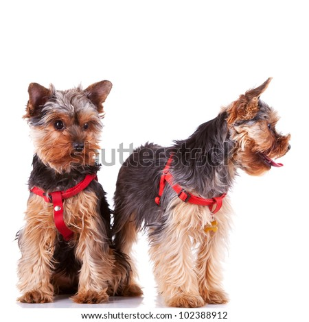 two curious little yorkshire puppy dogs looking at their side on white background - stock photo