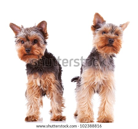 two curious little yorkshire puppy dogs standing on white background - stock photo