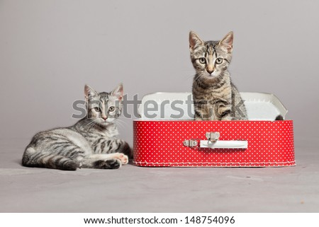 Two curious playful funny tabby kittens with red little suitcase. Studio shot against grey. - stock photo