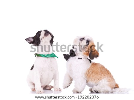 two curious puppies are looking up. french bulldog and shih tzu small dogs - stock photo