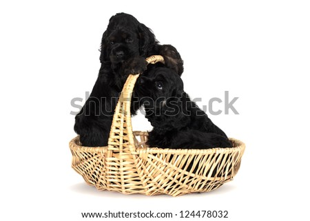 Two cute American Cocker Spaniel puppies, 2 months old. Having fun in yellow basket. Isolated on white background. - stock photo