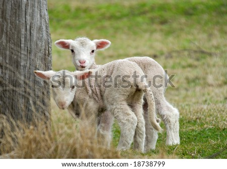 two cute and adorable shy lambs on the farm - stock photo