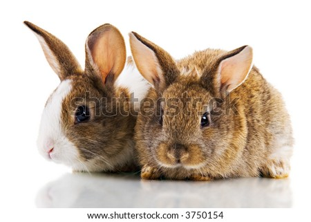 Two cute bunnies studio shot, Isolated on white.