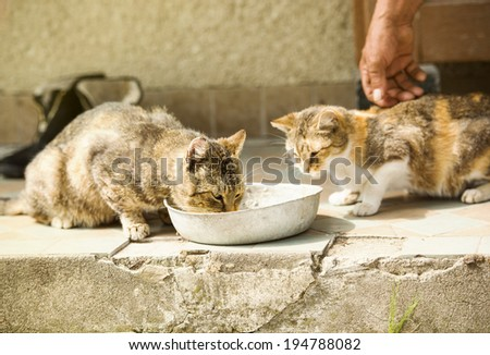Two cute cats are drinking milk from bowl - stock photo