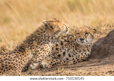 two cute cheetahs licking each others stock photo royalty free