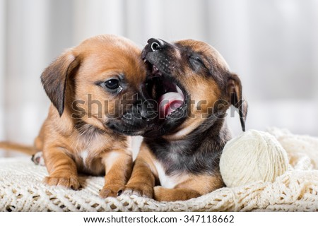 Two cute dachshund puppy playing - stock photo