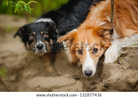 Two cute dog border collie lying portrait