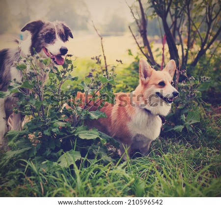 Two cute dogs in the park. We're friends forever. Welsh Corgi and the Border Collie. - stock photo