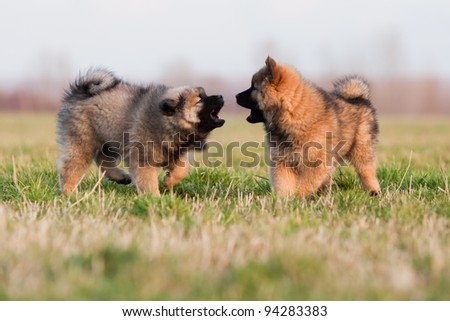 two cute eurasier puppies standing