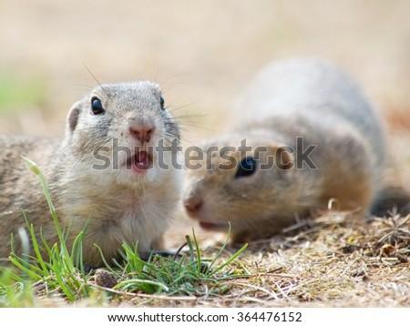 Two cute European Ground Squirrel - stock photo