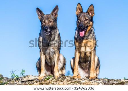 Two cute grey german shepherd dog sitting isolated closeup - stock photo
