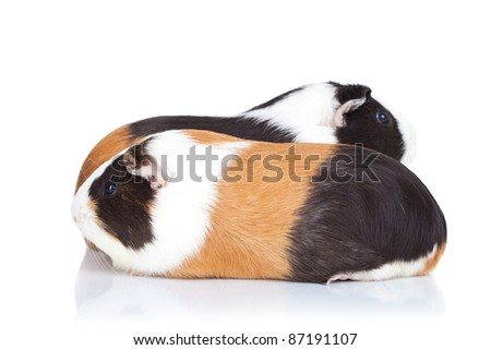 Two cute guinea pigs isolated on white background - stock photo