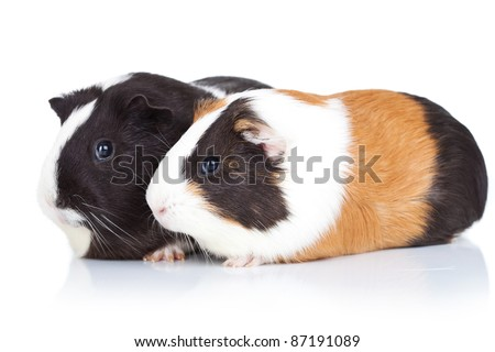 Two cute guinea pigs, isolated, side view - stock photo