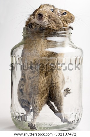 two cute hamsters in glass jar on white background - stock photo