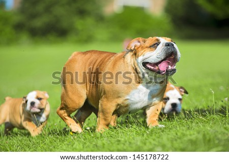 Two Cute happy bulldog puppies following their mother dog - stock photo