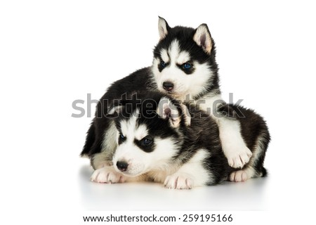 Two cute husky puppies - stock photo