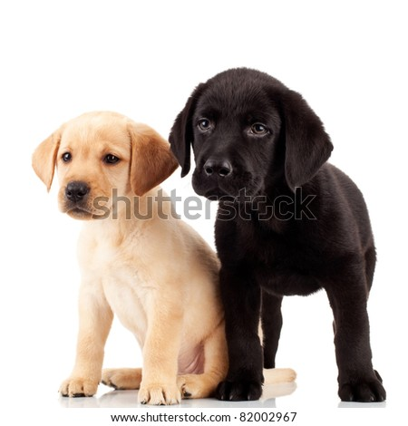 two cute labrador puppies - both very curious and looking at something - stock photo