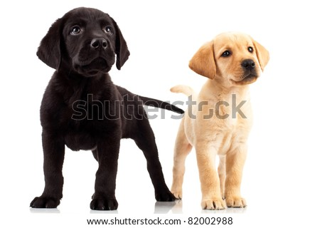 two cute labrador puppies - both very curious , standing and looking up at something - stock photo