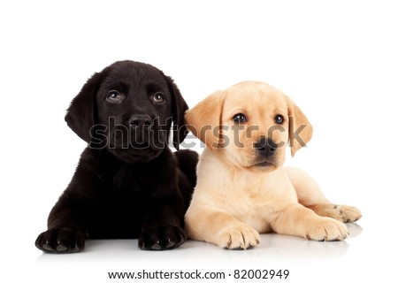 two cute labrador puppies - looking up to something over white - stock photo