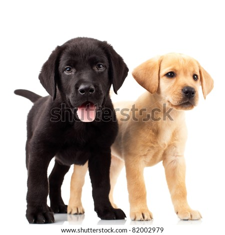 two cute labrador puppies - one with mouth open and one looking away - stock photo