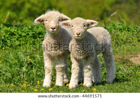 two cute lambs - stock photo