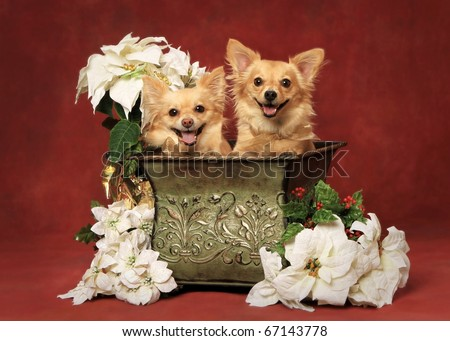Two cute little Christmas dogs - stock photo