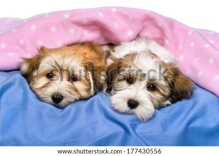 Two cute little Havanese puppies are resting on a bed under a pink blanket. Isolated on a white background  - stock photo