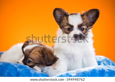 Two cute Papillon puppies age of one and a half months on a orange background - stock photo