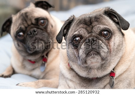Two cute pugs, brother and sister.  Pug dog portrait. - stock photo