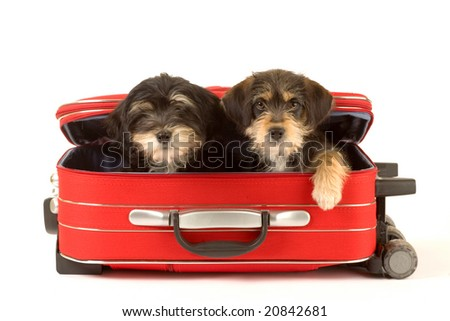 Two cute puppies brothers in the suitcase - stock photo