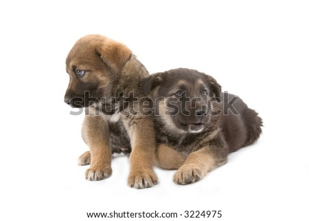 Two cute puppies brothers isolated on white background