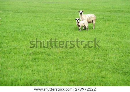 Two cute sheep standing on the lush fresh green grass on bright natural background copyspace, horizontal picture - stock photo