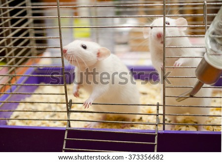 Two cute white rats in a cage - stock photo