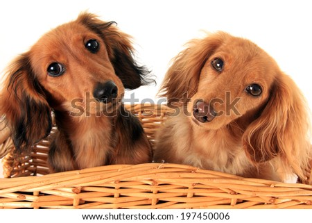 Two dachshund puppies in a basket. I asked them if they wanted a treat, and these are the faces they gave me.  - stock photo