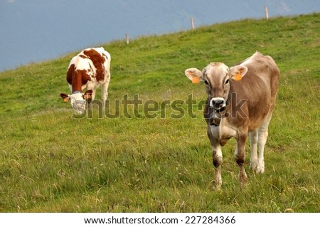 Two dairy cows on pasture on a green field in mountainous area - stock photo