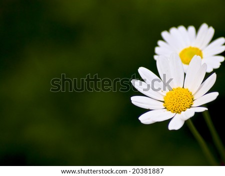 Two daisies on blurry green