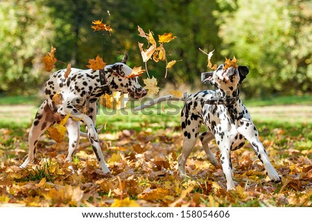 Two dalmatian dogs playing with leaves in autumn - stock photo
