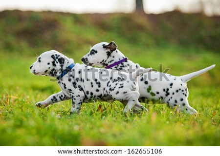 Two dalmatian puppies playing - stock photo