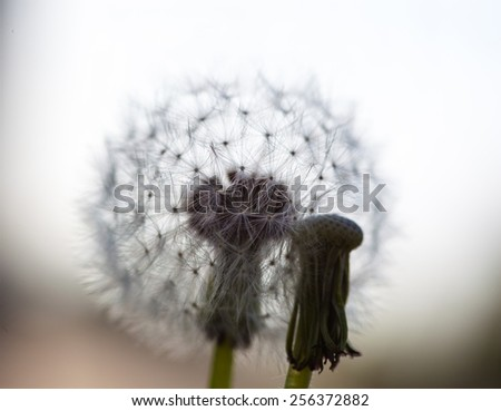 Two dandelion flowers: one without seeds and another with globular head of seeds. - stock photo