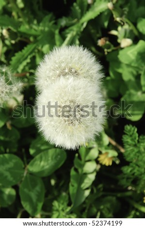 Two dandelion parachute balls (botanical name: Taraxacum officinale) in a field - stock photo