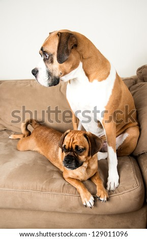 Two Dark Fawn  Dogs Relaxing on Sofa