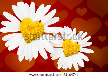 Two dasies with heart in center over red background - stock photo