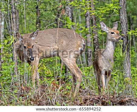 Two deer in the woods grazing on the abundant foliage.