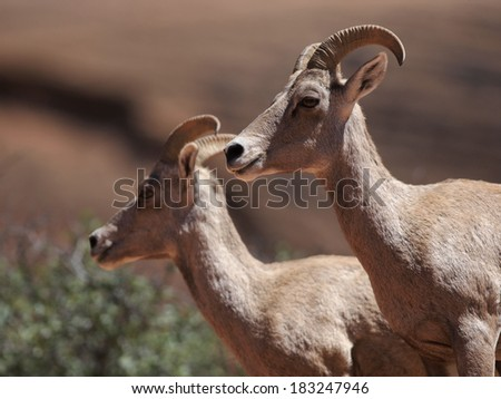 Two desert bighorn sheep in Zion NP - stock photo