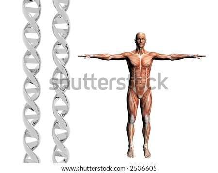 Two dna strands,  muscular anatomical correct male model.  Muscles as layer map on body. Evolution concept. - stock photo