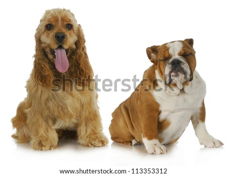 two dogs - american cocker spaniel and english bulldog sitting beside each other on white background - stock photo