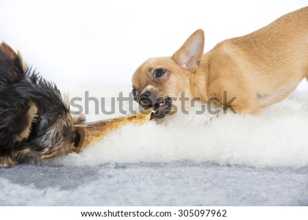 Two dogs are chewing together the same bone. The dog breeds are chihuahua and a yorkshire terrier puppy. Image is taken in a studio. - stock photo