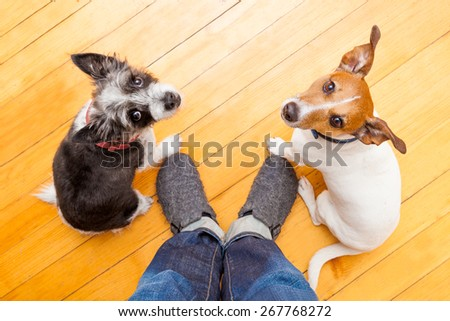 two dogs begging  looking up to owner begging  for walk and play ,on the floor inside their home - stock photo